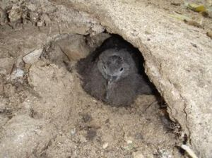 Wedge-tailed shearwater chick. Photo: Russell Best, Queensland Government
