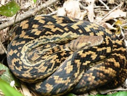 Image of a amethystine python which average 3m in length.