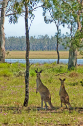 Water, grass and shade are all an eastern grey kangaroo needs on a hot summer day. Photo: Karen Smith © Queensland Government