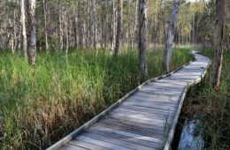 Several areas in the Woodgate section are wheelchair accessible. This image shows the boardwalk section of the Banksia track. Photo: Ross Naumann, QPWS volunteer.