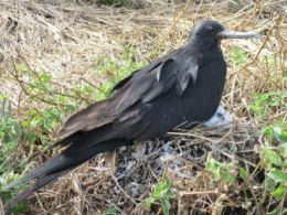 Lesser frigatebird (Duwaduwa) on chick, Mitirinchi Island. Photo: Queensland Government.