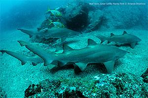 Grey nurse sharks, Wolf Rock. © Amanda Delaforce.