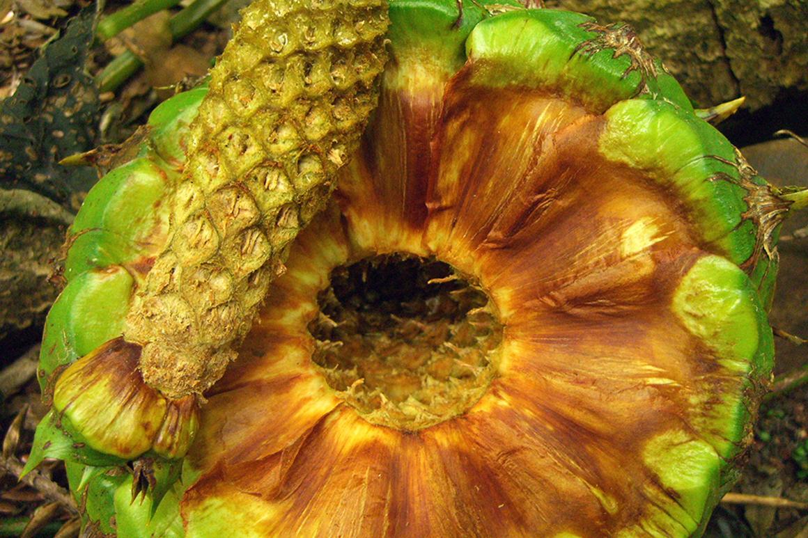 Bunya cone cut in half showing hard green outer casing and internal segments like a pineapple, each segment containing a nut.