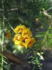 Image of <em>Dillwynia sieberi</em>.