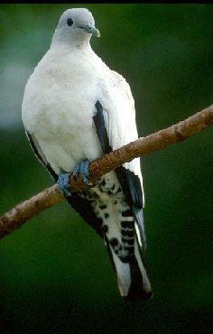 Pied imperial-pigeons observe the islands inhabitants from above. Photo: Queensland Government.