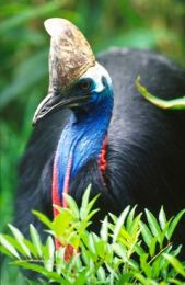Kutini is the Kuuku Ya'u word for the southern cassowary. Photo: Queensland Government.