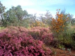 Thrushton in bloom.