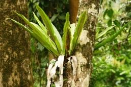 Image of a birds nest fern.