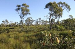 Wallum heath in the Woodgate section. A great place to explore this plant community is on the Banksia track. Photo: Ross Naumann, QPWS volunteer.