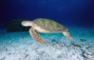 Green turtles are often seen on Michaelmas and Upolu reefs. Photo: K.Hoppen. © Commonwealth of Australia (Great Barrier Reef Marine Park Authority).