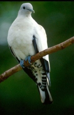 Pied imperial-pigeon. Photo:Queensland Government.