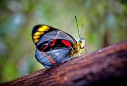 Black jezebel butterfly (Delias nigrina) in open eucalypt woodland. Photo: Robert Ashdown, Queensland Government.