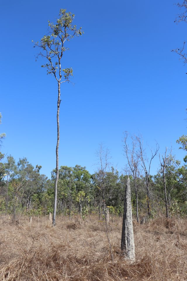Termite mounds.