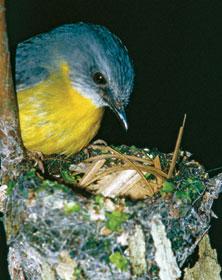 Eastern yellow robin. Photo courtesy of John Augusteyn.