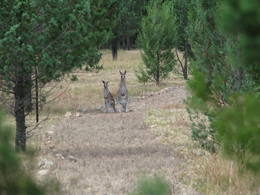 Eastern grey kangaroos. Photo: Brett Roberts, Queensland Government