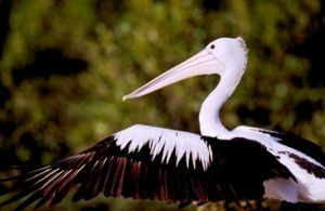 Pelicans are easy to identify. Photo: Queensland Government.