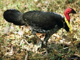 Most visitors will see Australian brush-turkeys in the day-use area. Photo: WTMA.