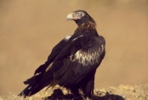Wedge-tailed eagle. Photo: Brian Furby Collection.