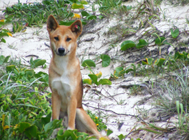 Dingo management on Fraser Island is supported by many dingo experts, scientists and wildlife welfare organisations. Photo: Queensland Government