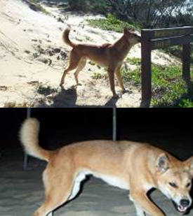 Interfering with dingoes causes their natural behaviour to change-they are no longer wary of humans and can become aggressive quickly.