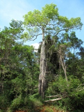 Drivers of 4WD vehicles can continue past the lookout and drive through Hurdle Gully Scrub where magnificent bottle trees stand on the edge of the dry rainforest.