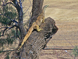 A yellow-spotted monitor surveys its territory.