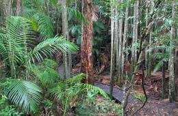 Rainforest at the beginning of the Wompoo circuit. Photo: Ross Naumann, QPWS volunteer.