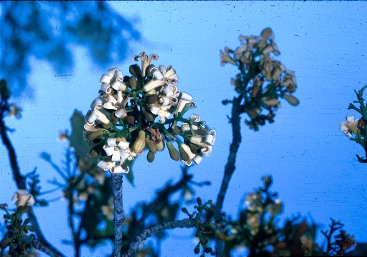 Broad-leaved bottle tree flower. Photo: Queensland Government.