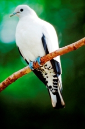 Pied imperial-pigeon. Photo: Queensland Government.