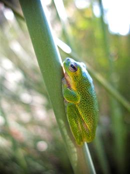Close up photo of a green Cooloola sedgefrog.