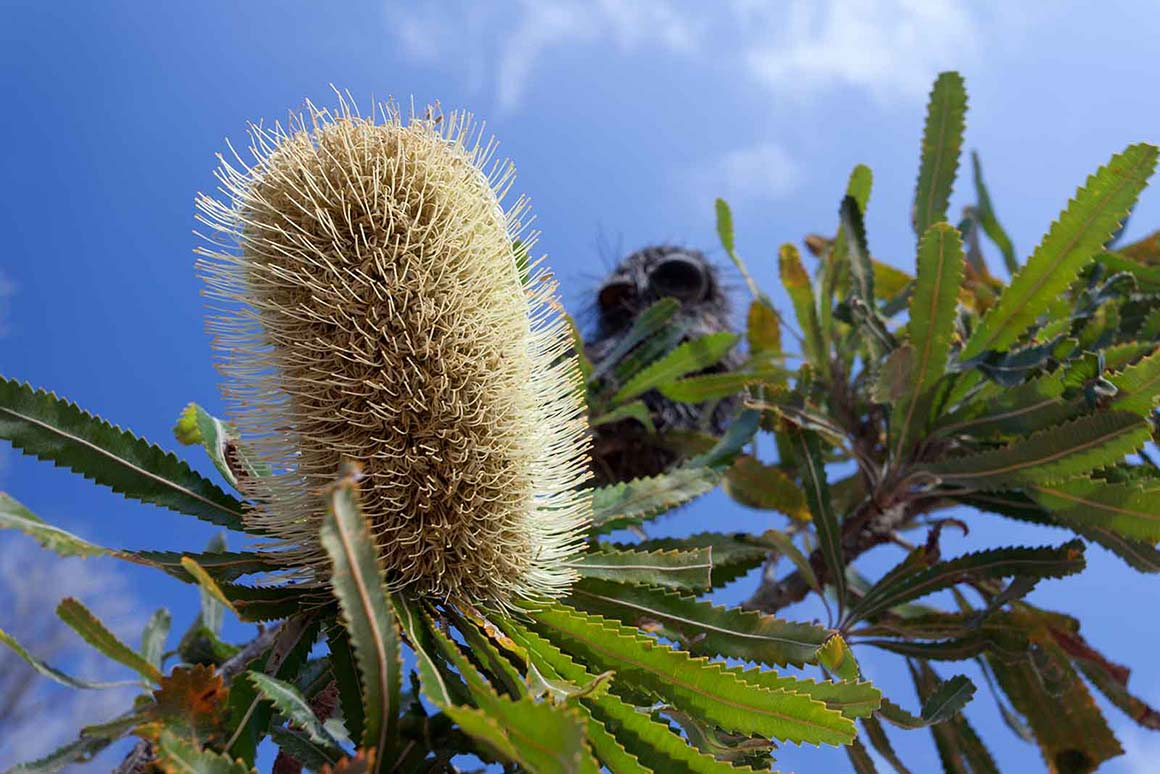 Close-up of a yellow flower spike of a banksia with a dry banksia cone in the background that looks like a face (banksia man).