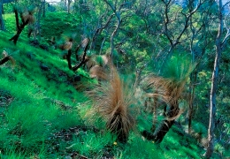 Grass trees and eucalypts dominate the landscape. Photo: Robert Ashdown, Queensland Government.