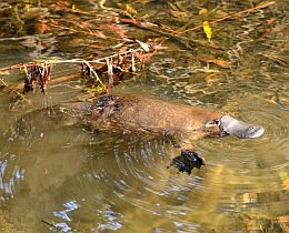 Platypus are very shy animals so if you want to see one, keep very quiet and still.