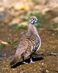 Squatter pigeons are often seen at Moorrinya National Park. Photo: Brian Furby Collection.