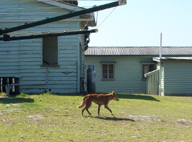 Just passing through. This dingo will keep moving through as all food and rubbish is secured at this house.