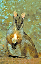 The beautiful but elusive Herbert's rock-wallaby. Photo: Robert Ashdown © Queensland Government