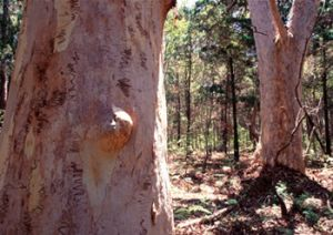 The basalt and sandstone soils of the island support native cypress, eucalypts, acacias and melaleucas.