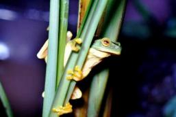 Image of a dainty green treefrog which are found at Lake Eacham.