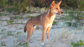 Adult male dingo Fraser Island.