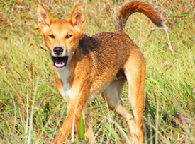 Let them grow up wild. Do not feed them. Fed dingoes become aggressive and may attack people particularly children.