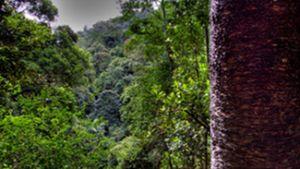 Hoop pine Araucaria cunninghamii