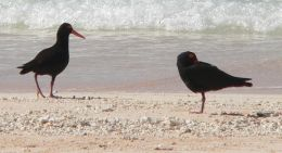With their black feathers and bright eyes, bill and legs, sooty oystercatchers are easy to distinguish from other shorebirds. Photo: Andrew McDougall, Queensland Government