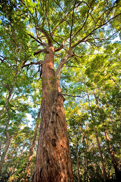 Forest trees, such as this tallowwood (Eucalyptus microcorys), sustained a timber industry for generations. Photo: Robert Ashdown, Queensland Government.