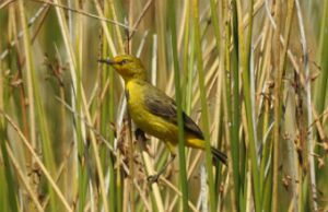Capricorn yellow chat. Photo: D Shearer, Queensland Government