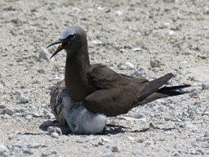 Common noddy adult with chick. Photo: Julie Dutoit, © Queensland Government.