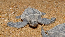 A turtle hatchling makes its way to the sea.
