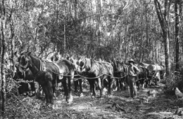 Horse team, Benarkin 1920. Photo courtesy of the historical Queensland Forest Service photograph collection.