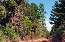 Vine forests are a form of dry rainforest where the understorey is thick with prickly shrubs and vines. Photo: Karen Smith © Queensland Government