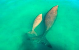 Dugong and calf. Photo: Queensland Government.