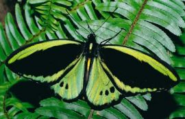 Lamington plays a vital role in protecting a rich diversity of globally significant wildlife, such as the Richmond birdwing butterfly Ornithoptera richmondia. Photo: Queensland Museum.